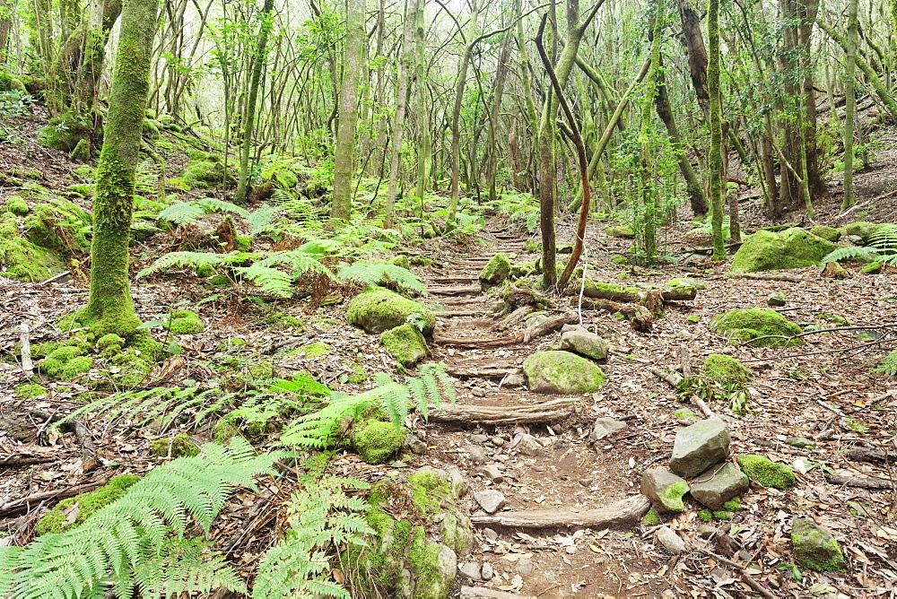Laurel forest, laurisilva, Parque Nacional de Garajonay, La Gomera, Canary Islands, Spain, Europe