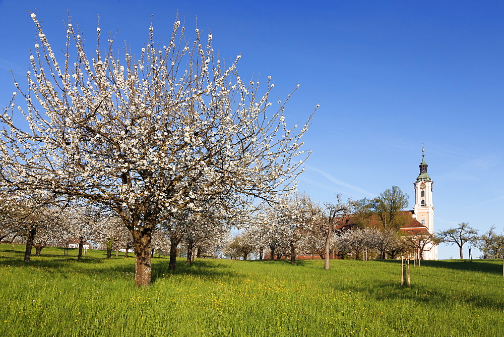 Pilgrimage church of Birnau Abbey, fruit tree blossom in spring, Lake Constance, Baden-Wuettemberg, Germany, Europe