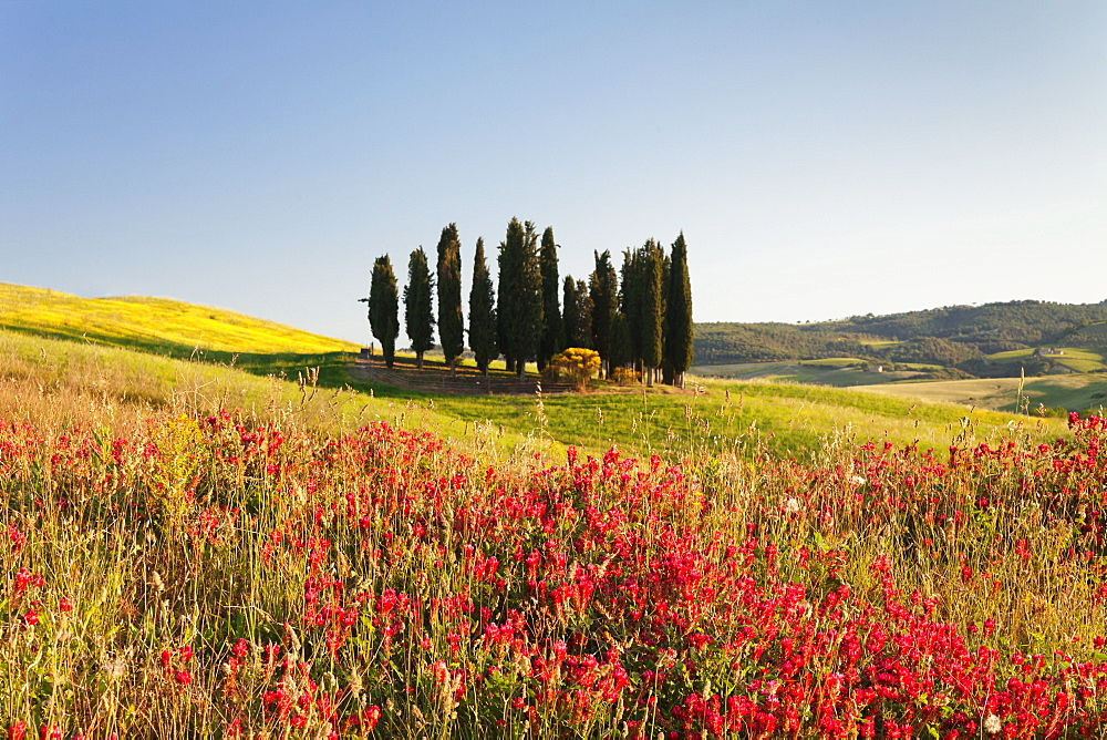 Group of cypress trees and field of flowers, near San Quirico, Val d'Orcia (Orcia Valley), UNESCO World Heritage Site, Siena Province, Tuscany, Italy, Europe