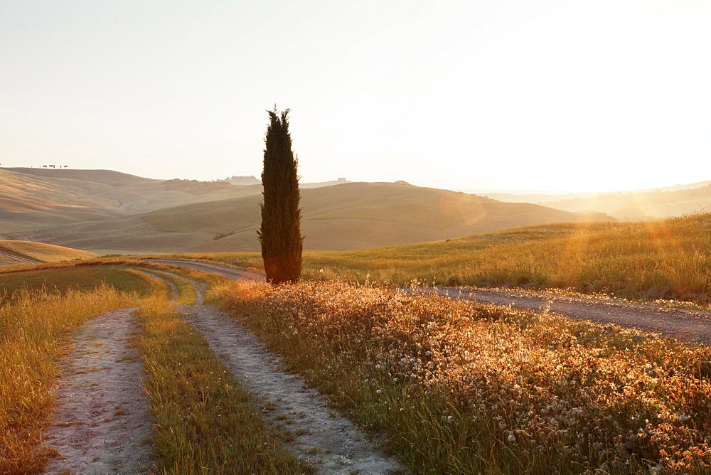 Tuscan landscape with cypress tree at sunrise, near San Quirico, Val d'Orcia (Orcia Valley), UNESCO World Heritage Site, Siena Province, Tuscany, Italy, Europe