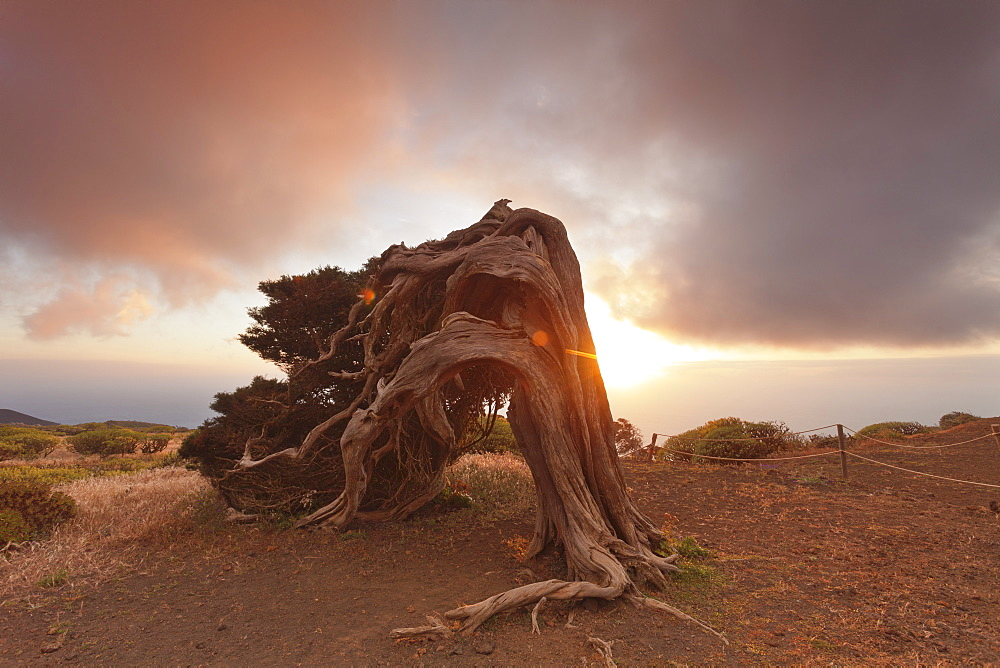 Canary Islands juniper (Juniperus cedrus) at sunset, Nature Reserve El Sabinar, UNESCO biosphere reserve, El Hierro, Canary Islands, Spain, Europe