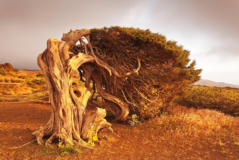 Canary Islands juniper (Juniperus cedrus), Nature Reserve El Sabinar, UNESCO Biosphere Reserve, El Hierro, Canary Islands, Spain, Europe