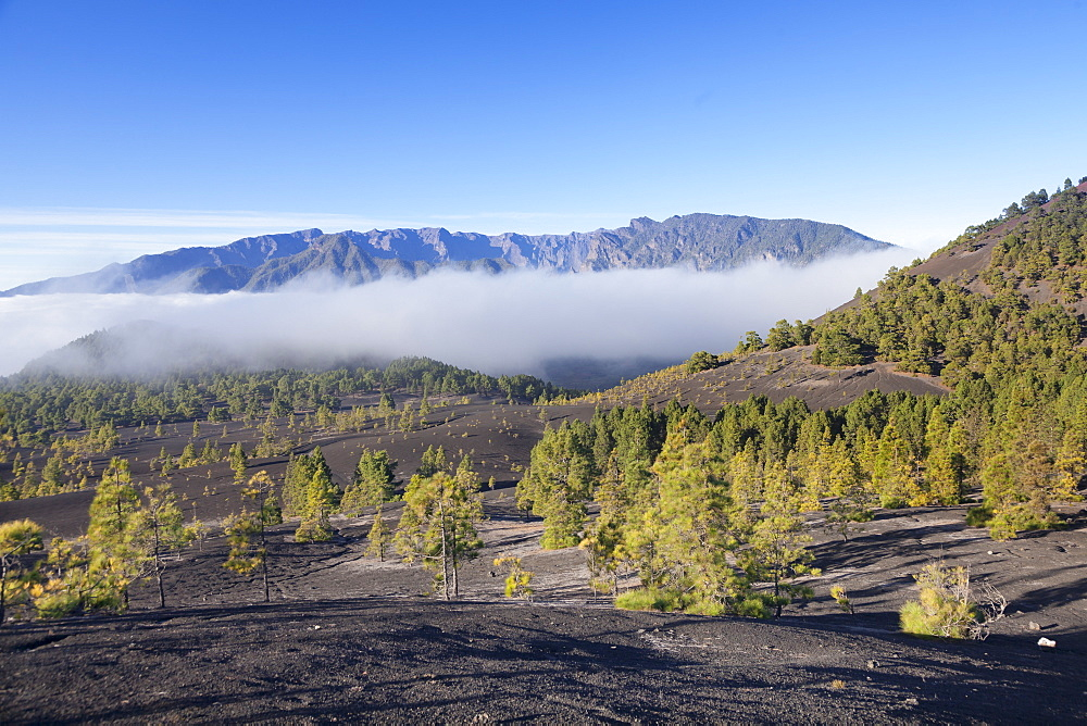 Canarian Pines (Pinus canariensis), Cumbre Vieja, UNESCO Biosphere Reserve, La Palma, Canary Islands, Spain, Europe