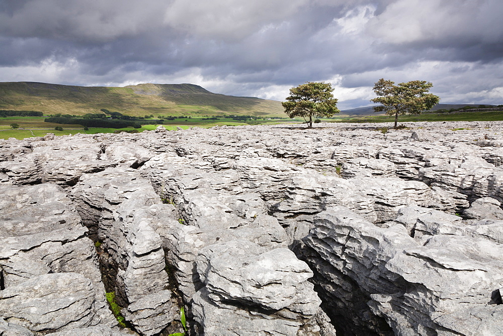 Trees on limestone pavement, Ingleborough National Nature Reserve, Yorkshire Dales, North Yorkshire, England, United Kingdom, Europe
