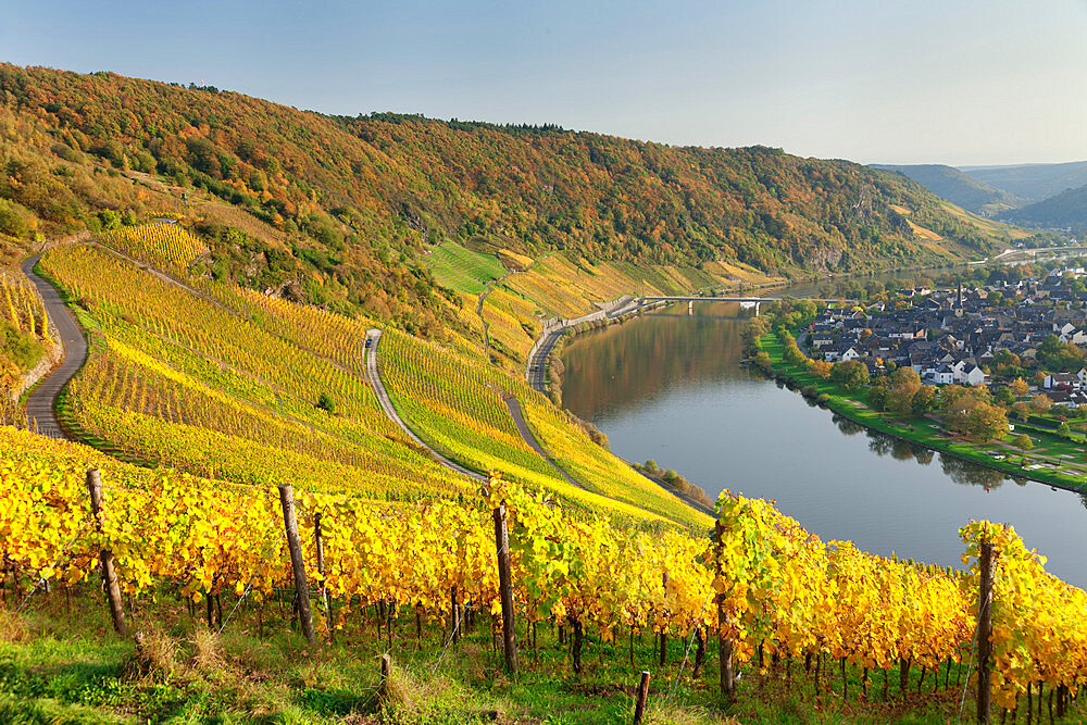 Vineyards in autumn, Loop of Moselle River near Kroev, Rhineland-Palatinate, Germany, Europe - 1160-3795