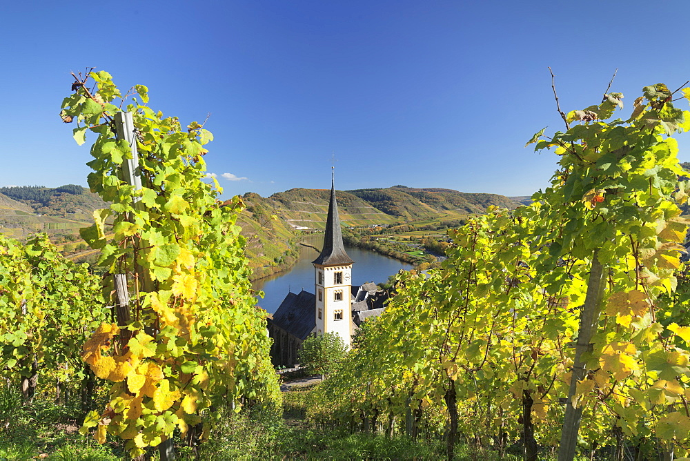 Loop of Moselle River and vineyards in autumn, Bremm, Rhineland-Palatinate, Germany, Europe - 1160-3821
