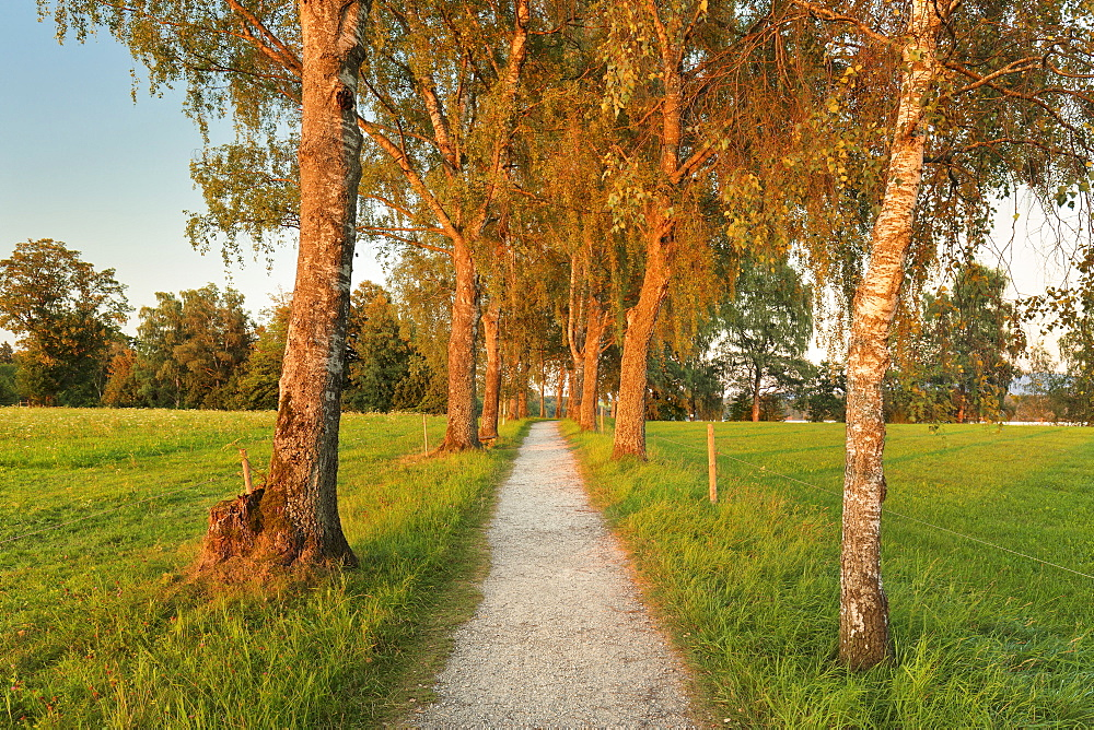 Tree alley at sunset near Uffing, Staffelsee Lake, Blaues Land, Upper Bavaria, Bavaria, Germany, Europe
