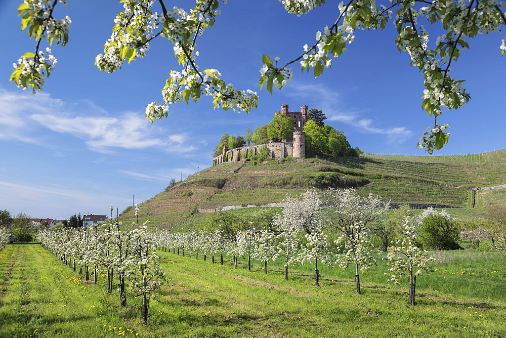 Ortenberg Castle in spring, Offenburg, Black Forest, Baden-Wuerttemberg, Germany