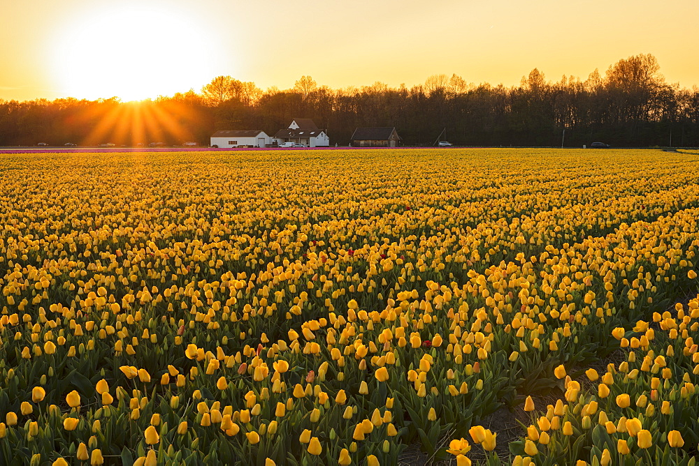 Field of tulips at sunset, South Holland, Netherlands, Europe