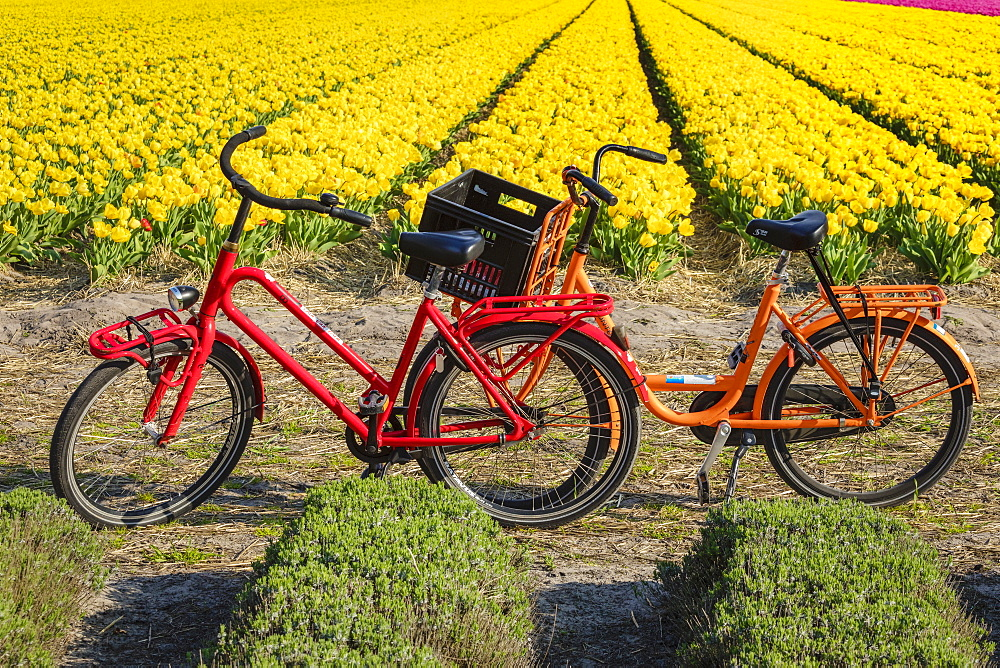 Traditional bicycles, field of tulips, South Holland, Netherlands, Europe
