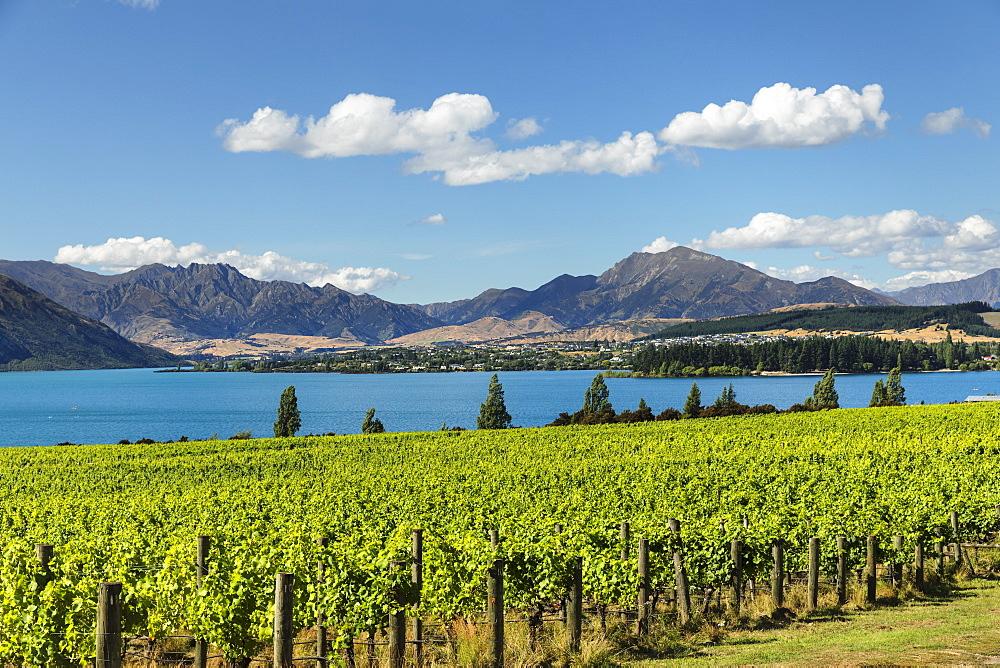 Vineyards at Lake Wanaka See in summer, Otago, South Island, New Zealand, Pacific