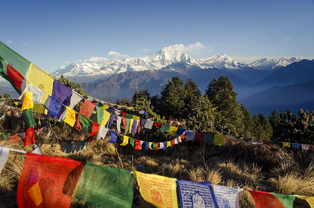 The view from Poon Hill, 3210m, with Dhaulagiri, 8167m, and Dhaulagiri massif, Dhampus Peak, 6012m, and Tukuche Peak, 6920m, in the background with prayer flags in the foreground, Annapurna Conservation Area, Nepal, Asia - 1163-72