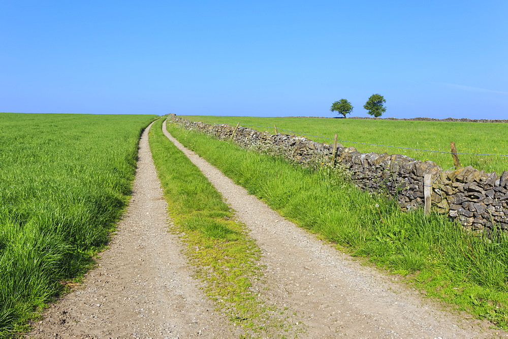 Track disappears into distance, grass, two trees and dry stone walls, typical country scene, Peak District, Derbyshire, England, United Kingdom, Europe