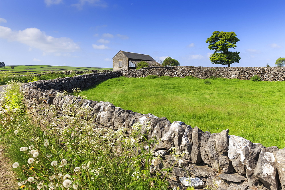Typical spring landscape of country lane, dry stone walls, tree and barn, May, Litton, Peak District, Derbyshire, England, United Kingdom, Europe