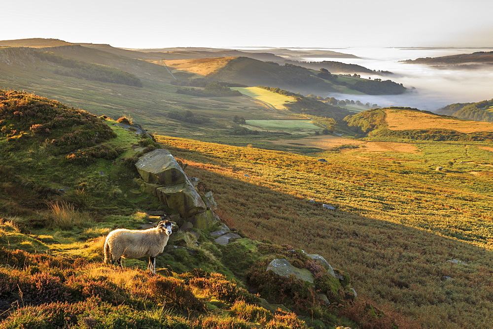 Sheep, valley with temperature inversion fog, Stanage Edge, Peak District National Park, Autumn heather, Derbyshire, England