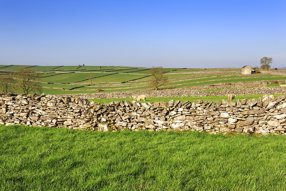Typical Spring landscape of barn, sheep, fields, dry stone walls and hills, May, Litton, Peak District, Derbyshire, England