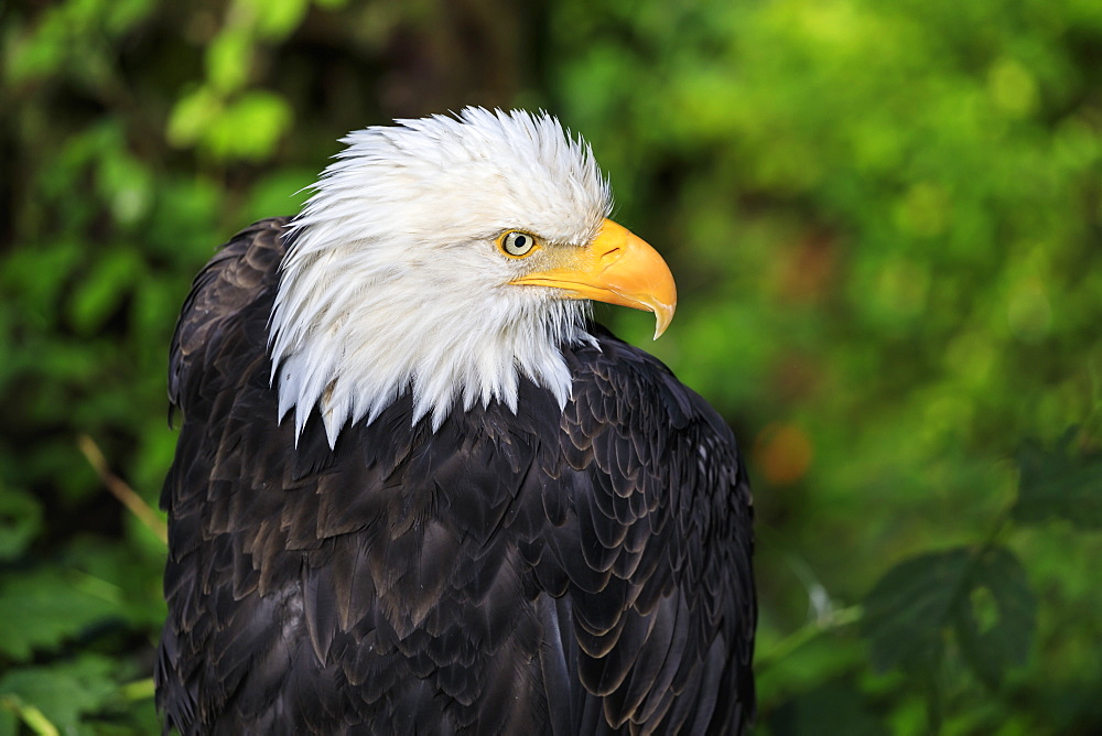 Bald eagle (Haliaeetus leucocephalus) portrait, Alaska Raptor Rehabilitation Center, Sitka, Baranof Island, Alaska, United States of America, North America