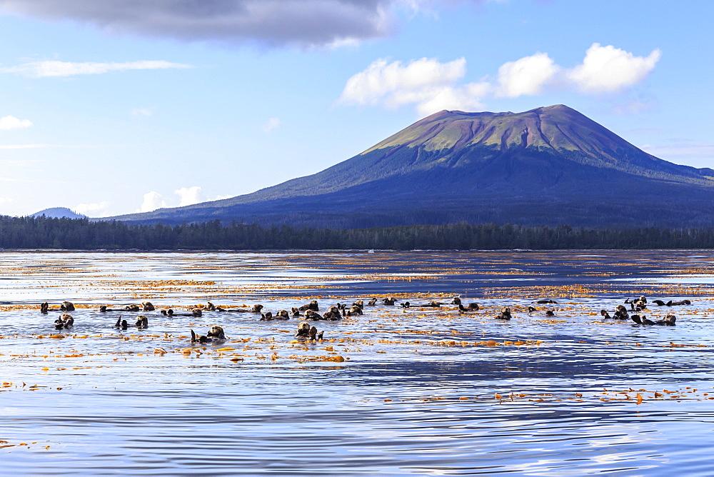 Sea otters (Enhyrda lutris), endangered species, and Mount Edgecumbe, extinct volcano, Sitka Sound, Sitka, Southeast Alaska, United States of America, North America
