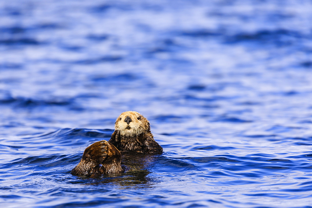 Sea otter (Enhyrda lutris), endangered species, Sitka Sound, Sitka, Baranof Island, Northern Panhandle, Southeast Alaska, United States of America, North America