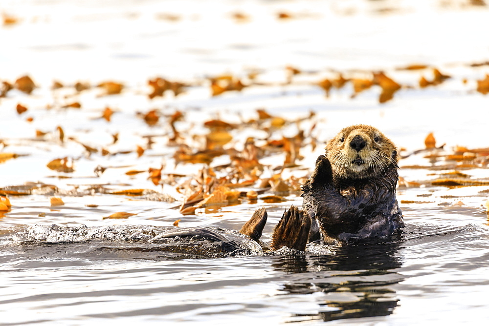 Sea Otter (Enhyrda lutris), endangered species, calm waters of Sitka Sound, Sitka, Northern Panhandle, Southeast Alaska, USA