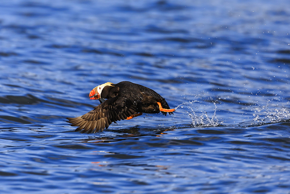 Tufted puffin (Fratercula cirrhata) in flight over the sea, with catch, Sitka Sound, Sitka, Southeast Alaska, United States of America, North America