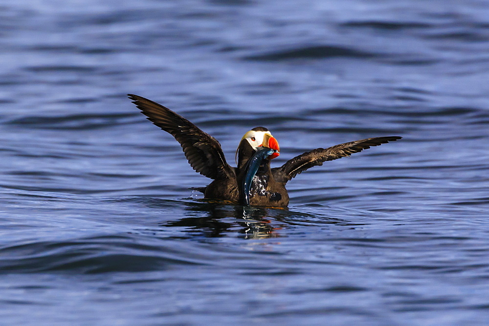 Tufted Puffin (Fratercula cirrhata) on the sea, wings stretched with catch, Sitka Sound, Sitka, Southeast Alaska, USA - 1167-1640