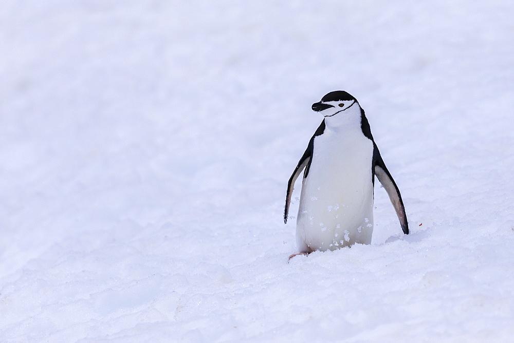 Chinstrap penguin (Pygoscelis antarcticus) in the snow, Half Moon Island, South Shetland Islands, Antarctica, Polar Regions