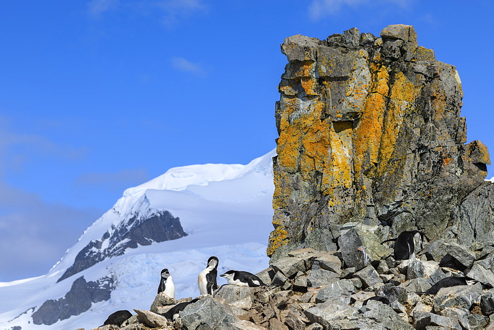 Chinstrap penguins (Pygoscelis antarcticus) at a spectacular craggy colony, Half Moon Island, South Shetland Islands, Antarctica, Polar Regions