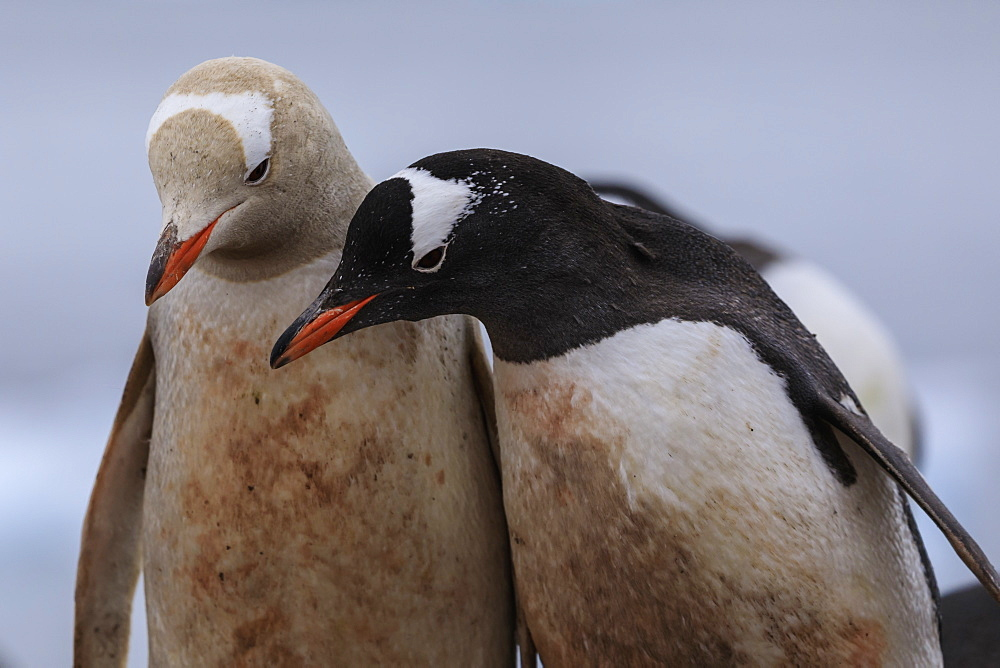 Rare leucistic gentoo penguin (Pygoscelis papua) contrasts with another gentoo, Waterboat Point, Paradise Bay, Antarctica