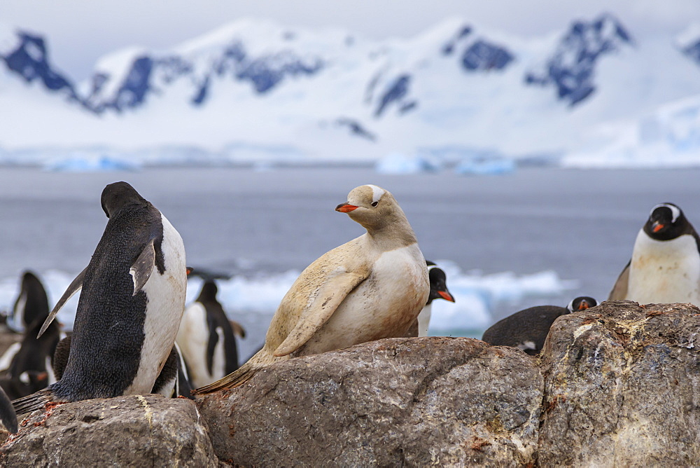 Rare leucistic gentoo penguin (Pygoscelis papua) in a colony, Gonzalez Videla Station, Waterboat Point, Paradise Bay, Antarctica