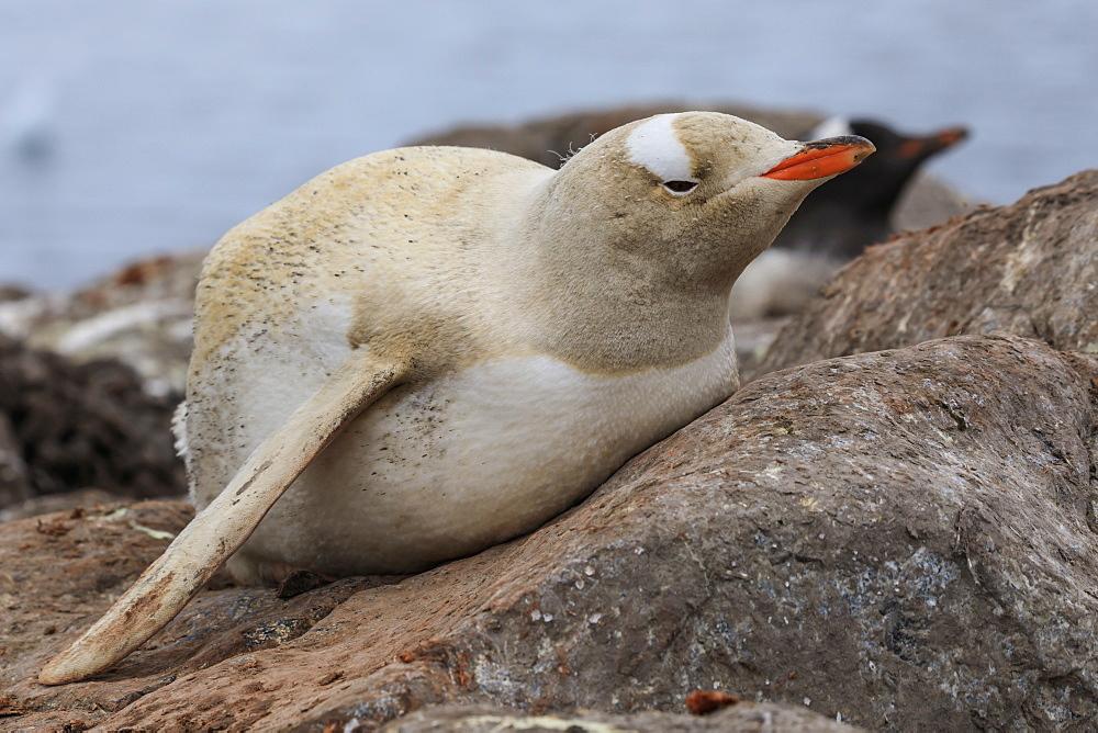 Rare leucistic gentoo penguin (Pygoscelis papua), Gonzalez Videla Station, Waterboat Point, Paradise Bay, Antarctica - 1167-1681