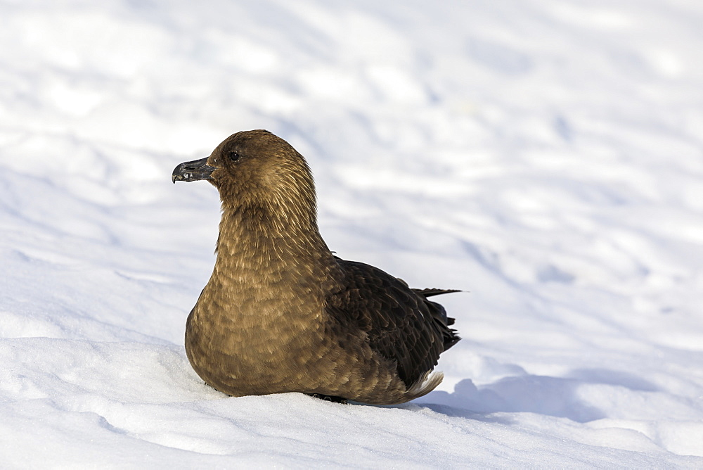 Brown skua (Catharacta antarctica) sitting on snow, Neko Harbour, Anvord Bay, Antarctic Peninsula, Antarctica, Polar Regions