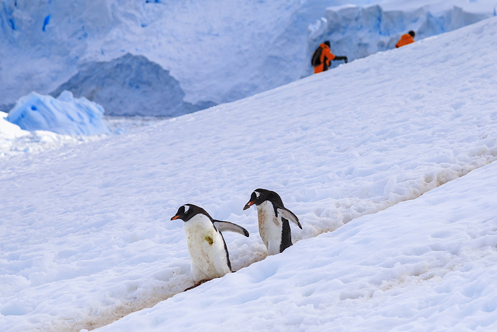 Gentoo penguins (Pygoscelis papua) use a penguin highway, visitors use their own, Neko Harbour, Antarctic Peninsula, Antarctica, Polar Regions