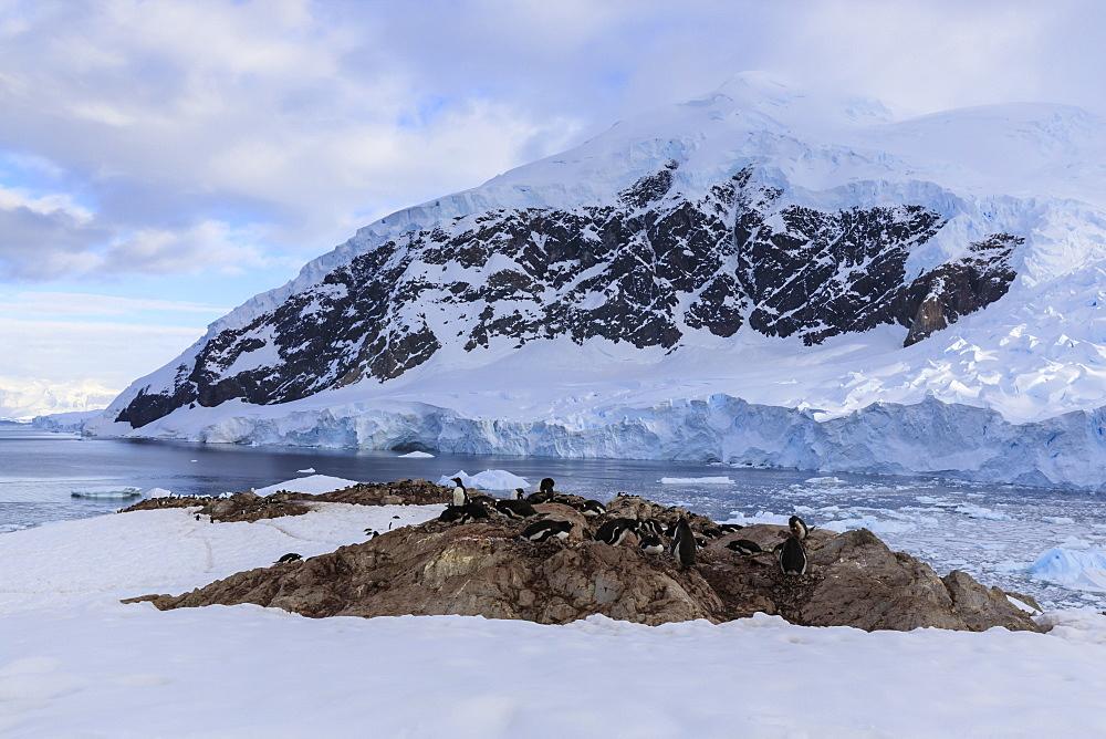 Gentoo penguins (Pygoscelis papua), early morning overlooking Neko Harbour glacier, Graham Land, Antarctic Continent, Antarctica - 1167-1691