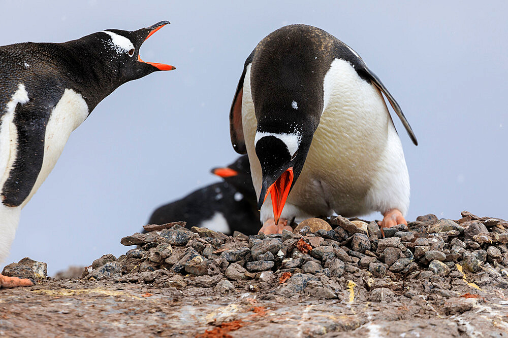 Gentoo penguin (Pygoscelis papua) pair, changing places on nest, Damoy Point, Wiencke Island, Antarctic Peninsula, Antarctica, Polar Regions
