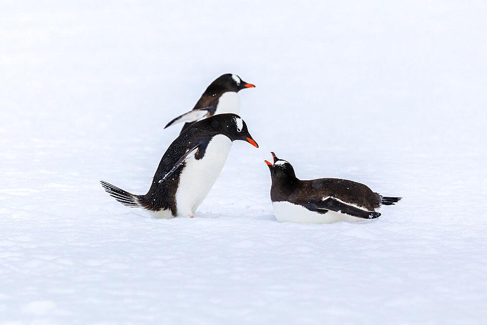 Gentoo penguins (Pygoscelis papua) meet on the snow, Damoy Point, Dorian Bay, Wiencke Island, Antarctic Peninsula, Antarctica