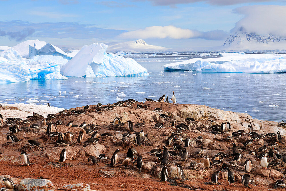 Gentoo penguin (Pygoscelis papua) colony, Cuverville Island, Errera Channel, Danco Coast, Antarctic Peninsula, Antarctica, Polar Regions