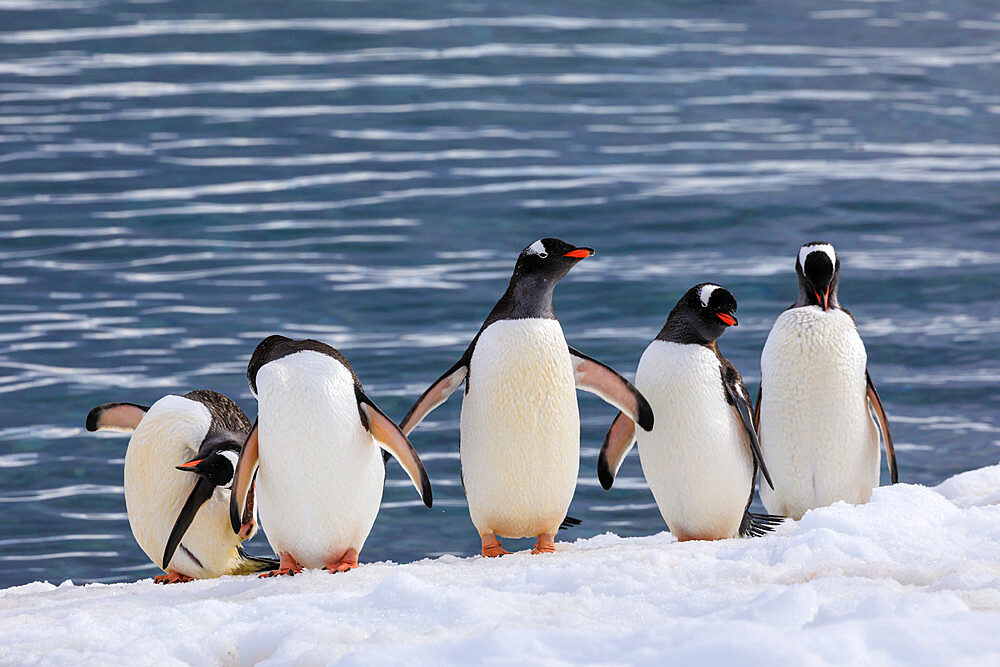 Gentoo penguins (Pygoscelis papua) in a line at the snowy sea shore, Cuverville Island, Antarctic Peninsula, Antarctica
