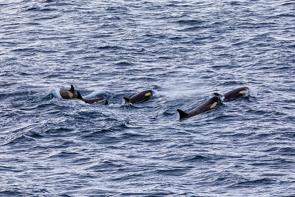 Pod of Type B Killer Whales (Orcinus orca) with yellow cast due to diatoms, Gerlache Strait, Antarctic Peninsula, Antarctica, Polar Regions