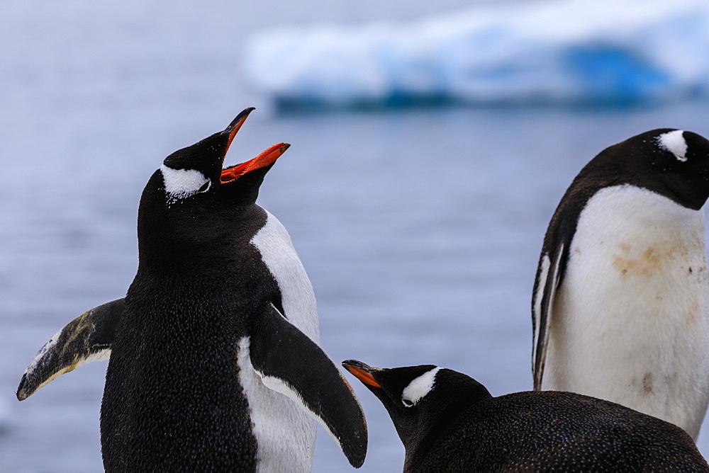 Gentoo penguins (Pygoscelis papua), Gonzalez Videla Station, Waterboat Point, Paradise Bay, Antarctica, Polar Regions - 1167-1807