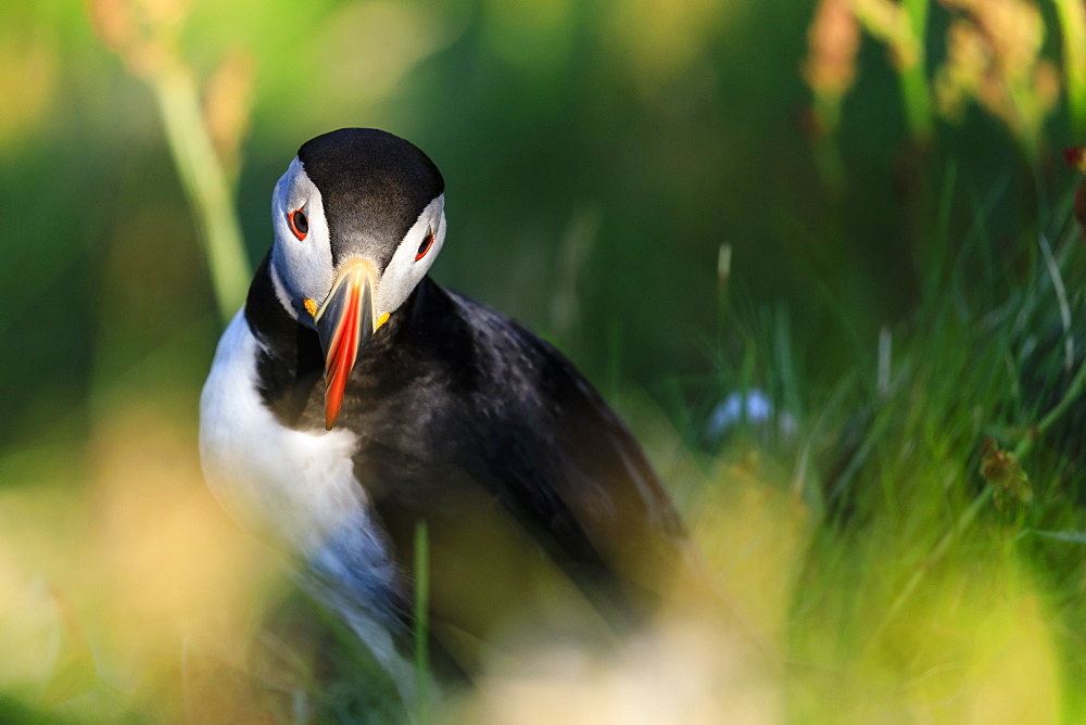 Atlantic puffin (Fratercula arctica), Sumburgh Head, South Mainland, Shetland Islands, Scotland, United Kingdom, Europe