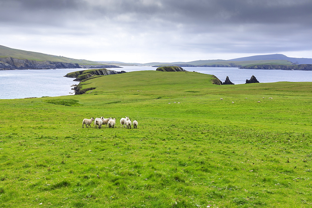 St. Ninian's Isle, sheep and spectacular cliff scenery, South West Mainland, Shetland Islands, Scotland, United Kingdom, Europe