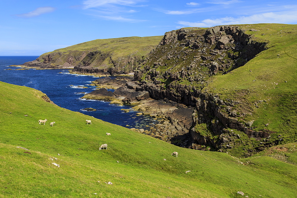 Grazing sheep, cliffs and the sea, Stoer Peninsula, Summer, Lochinver, Sutherland, Scottish Highlands, Scotland, United Kingdom