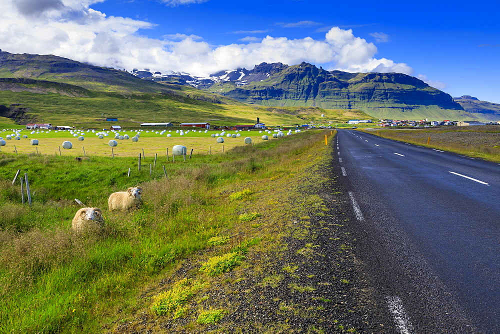 Woolly Icelandic sheep, road, grasses and mountains, Grundarfjordur town, Summer, blue sky, Snaefellsnes Peninsula, Iceland