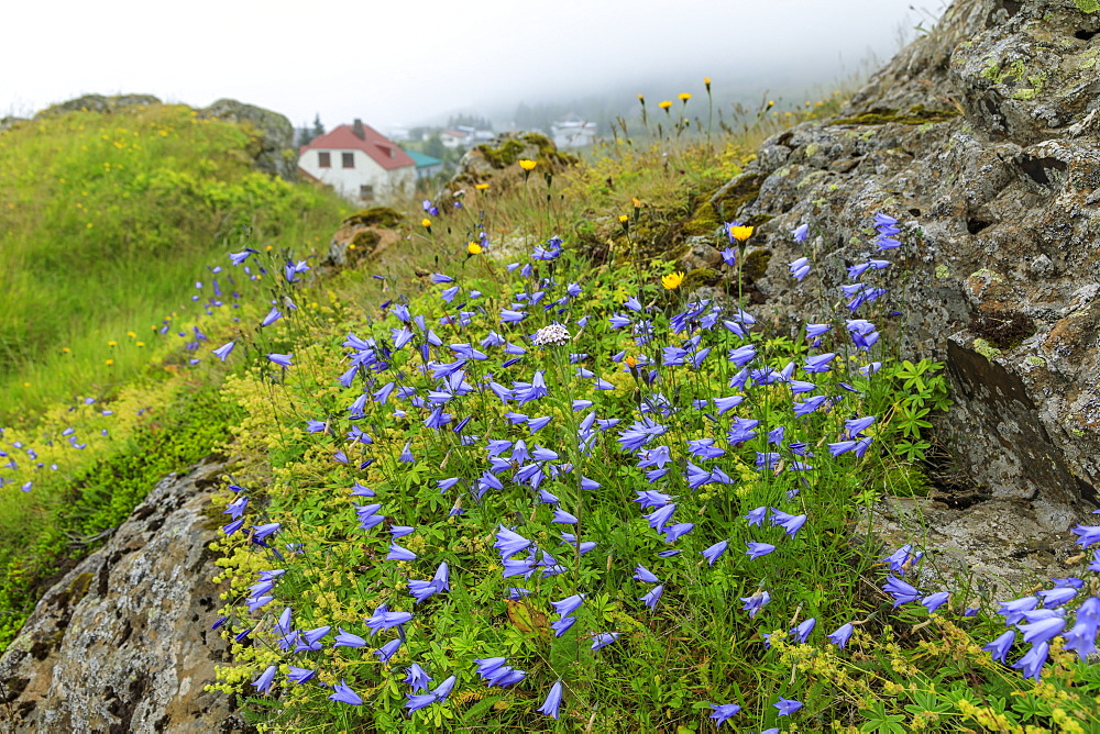 Wild flowers and Vopnafjordur village, Kolbeinstang, Summer, East Iceland, Europe