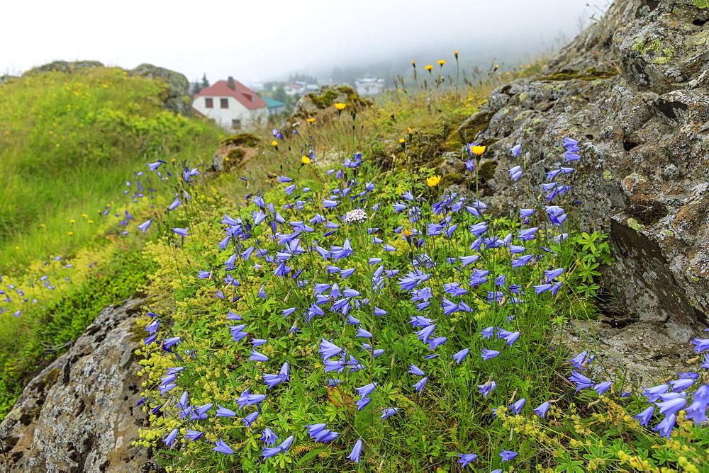 Wild flowers and Vopnafjordur village, Kolbeinstang, Summer, East Iceland, Europe - 1167-2074