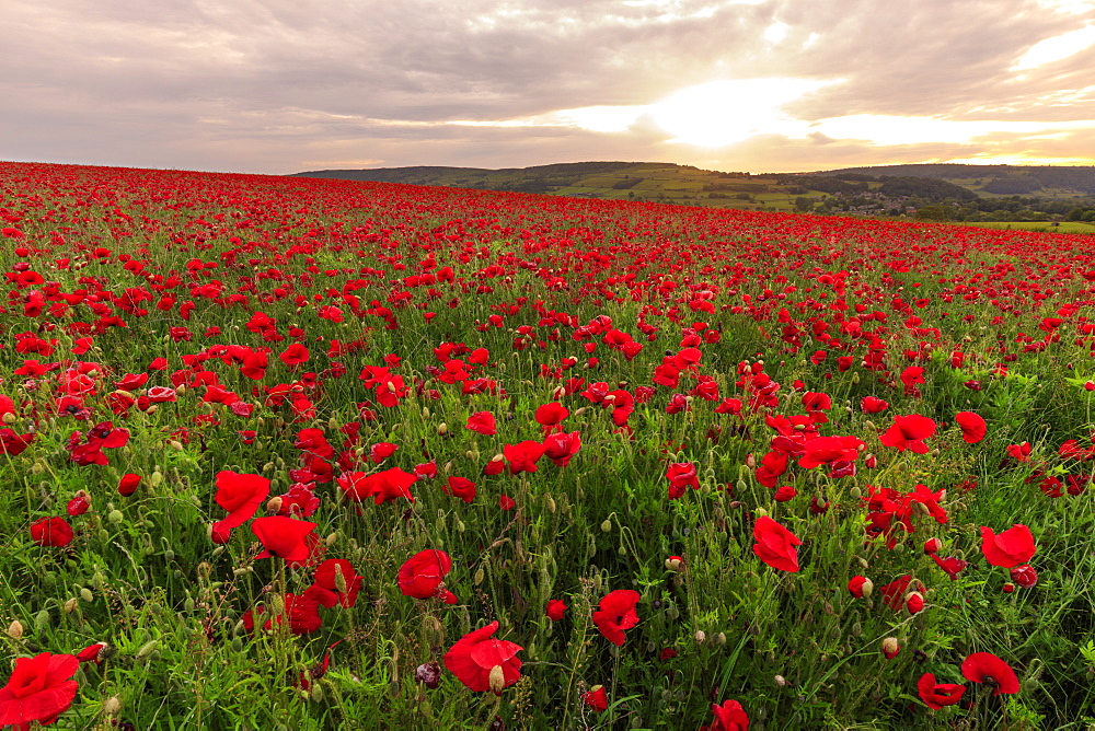 Red poppies, backlit field at sunrise, beautiful wild flowers, Peak District National Park, Baslow, Derbyshire, England, United Kingdom, Europe