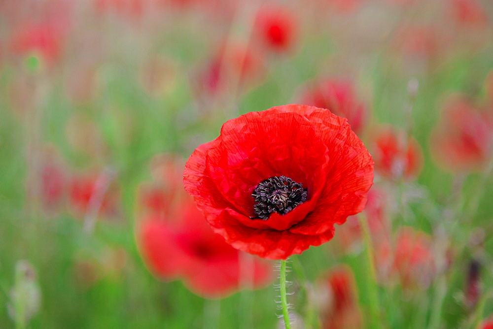 Red poppy, beautiful wild flower portrait, soft light, Peak District National Park, Baslow, Derbyshire, England, United Kingdom, Europe