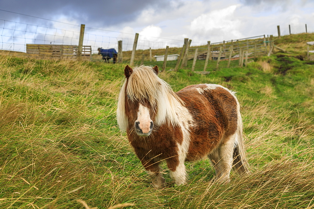 Red and white Shetland pony in field, a world famous unique and hardy breed, Westerwick, West Mainland, Shetland Isles, Scotland, United Kingdom, Europe