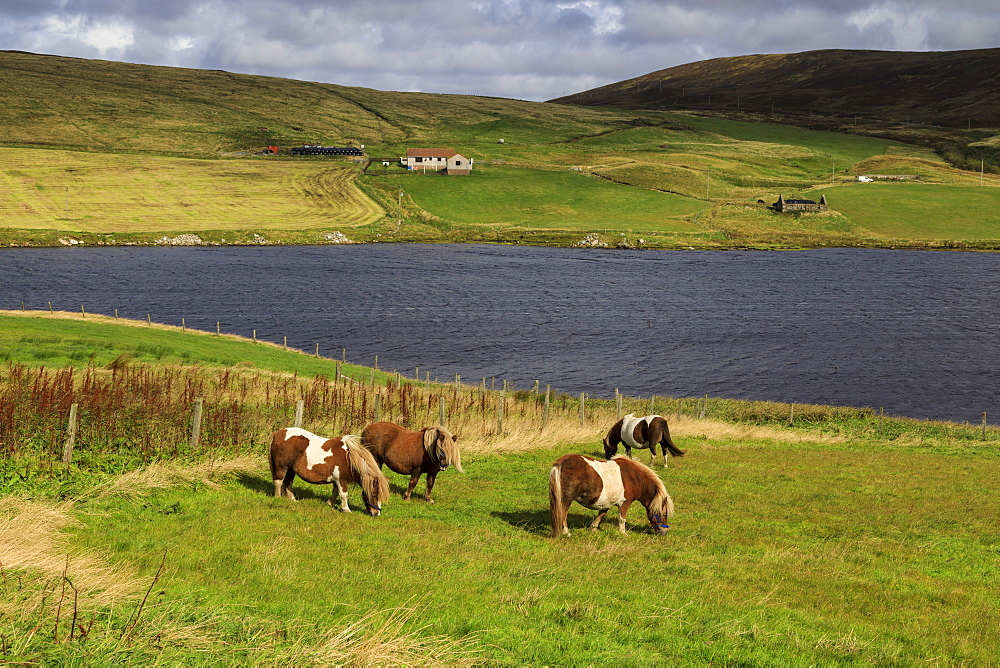 Shetland Ponies, a world famous unique and hardy breed, Aith Voe, East Burrafirth, West Mainland, Shetland Isles, Scotland, United Kingdom, Europe